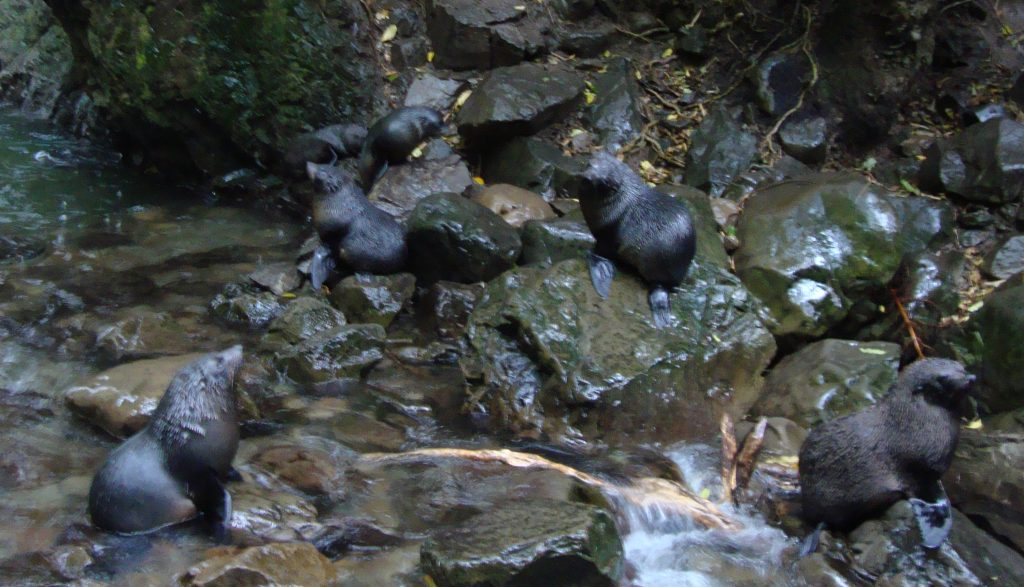 Seal Pups At Ohau Waterfall
