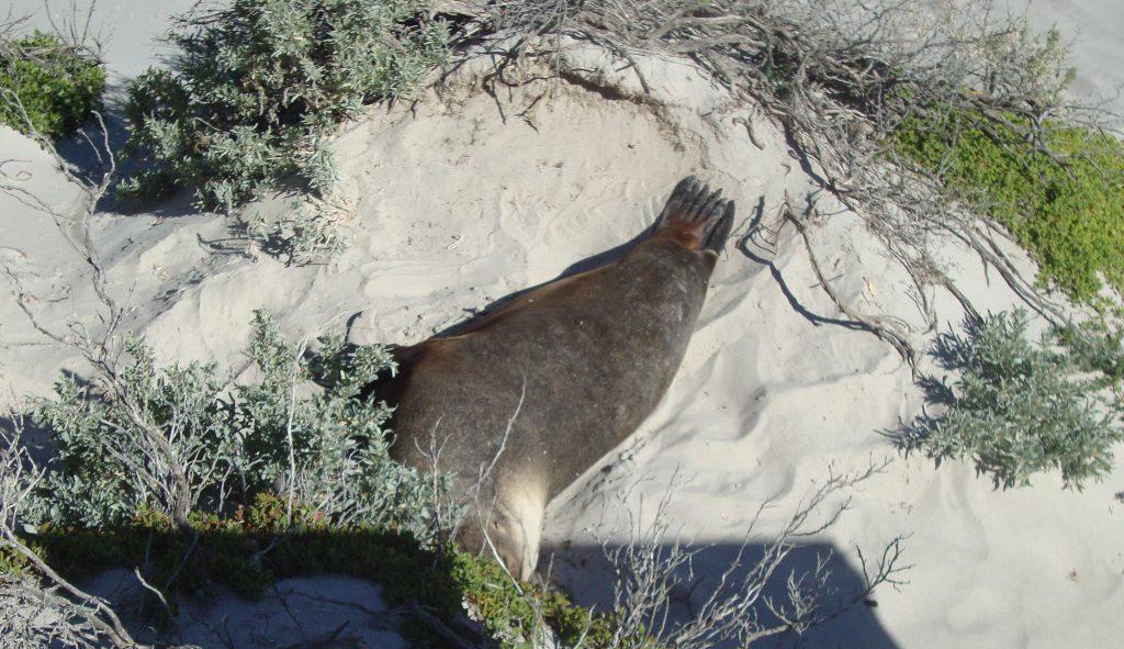 Fur Seal At Seal Bay