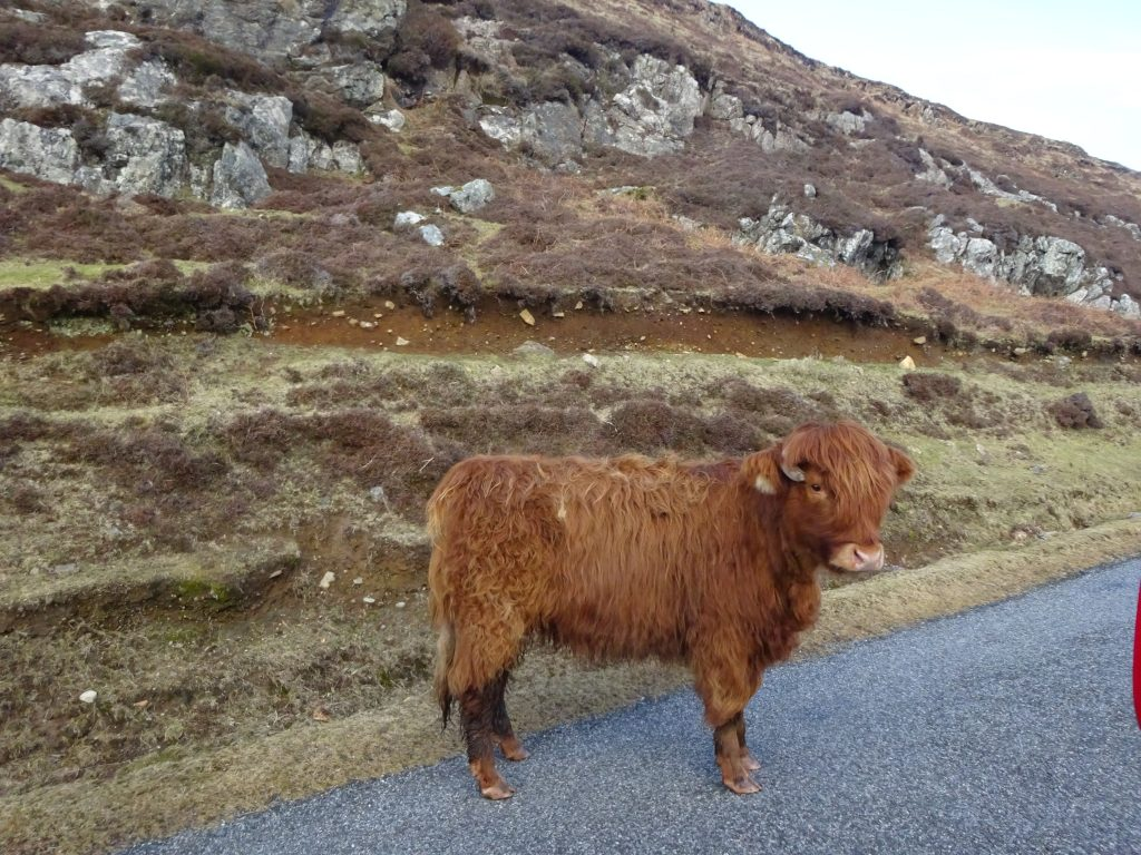 Highland Cow On The Isle Of Lewis