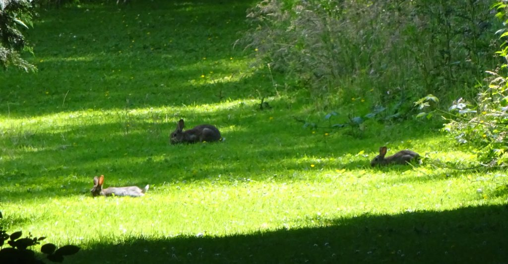 Rabbits In Jodrell Bank Gardens