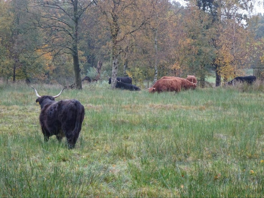 cow-lyme-park