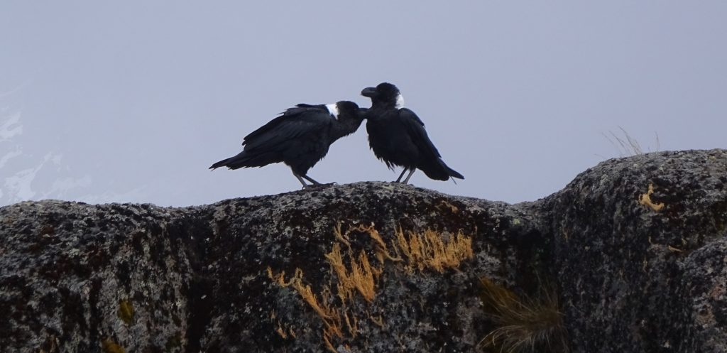 Crow Love