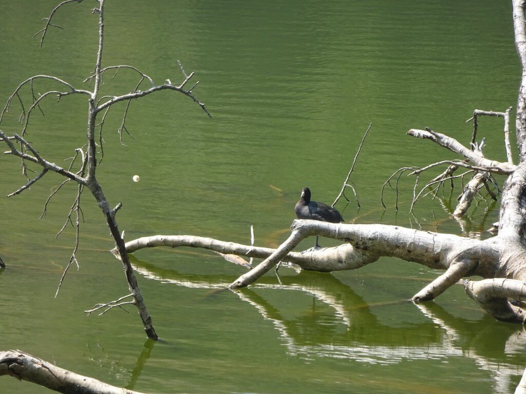 Coot On The Caldera