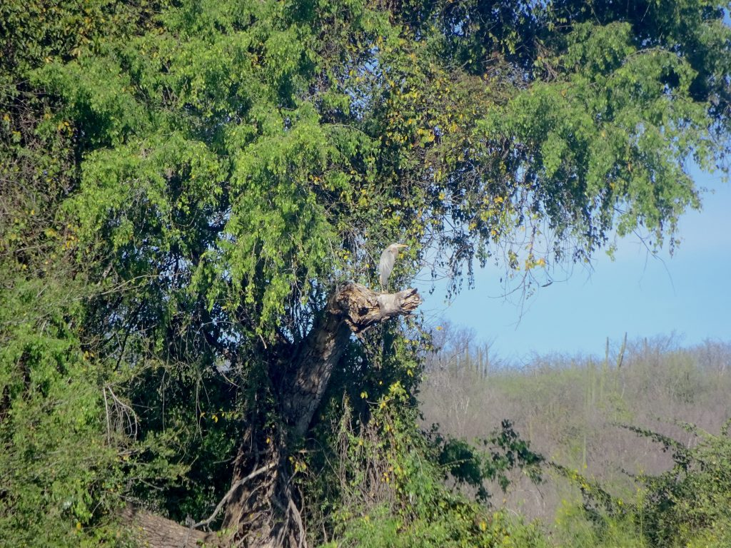 Heron On El Fuerte River