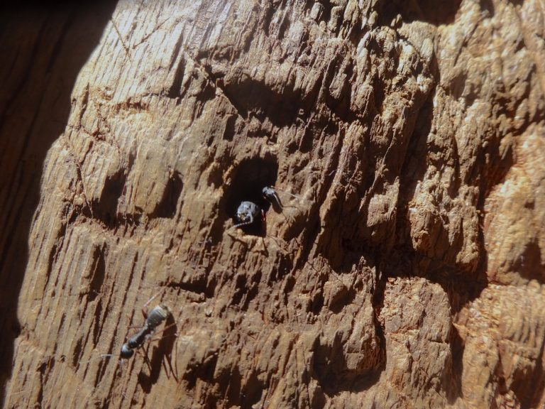 Ants Inside the Sequoia Tree