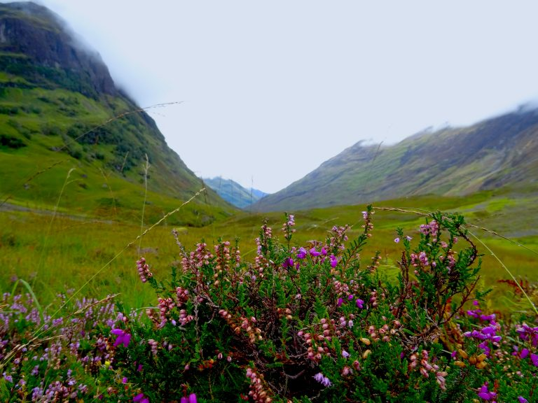 Some Blooming Heather In Glencoe