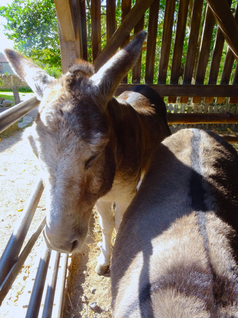 Donkeys At Mary Arden's Farm