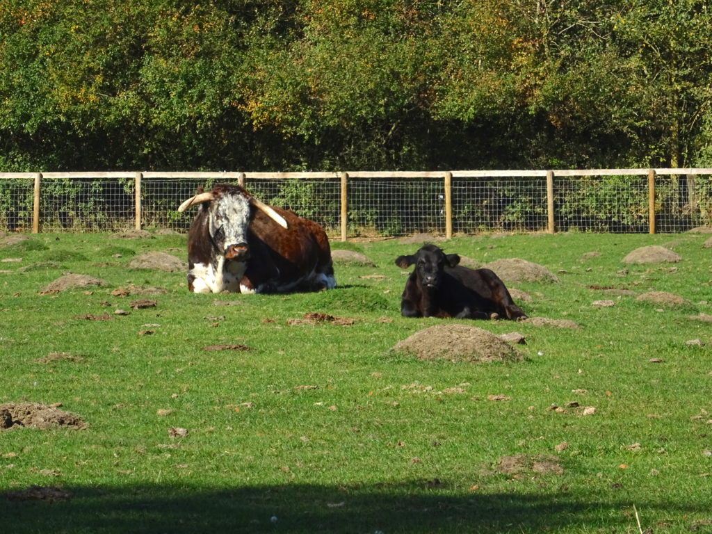 Rare Breed Cows At Mary Arden's Farm