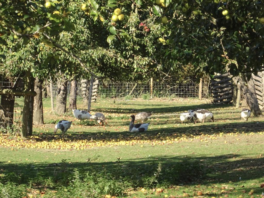 Geese At Mary Arden's Farm
