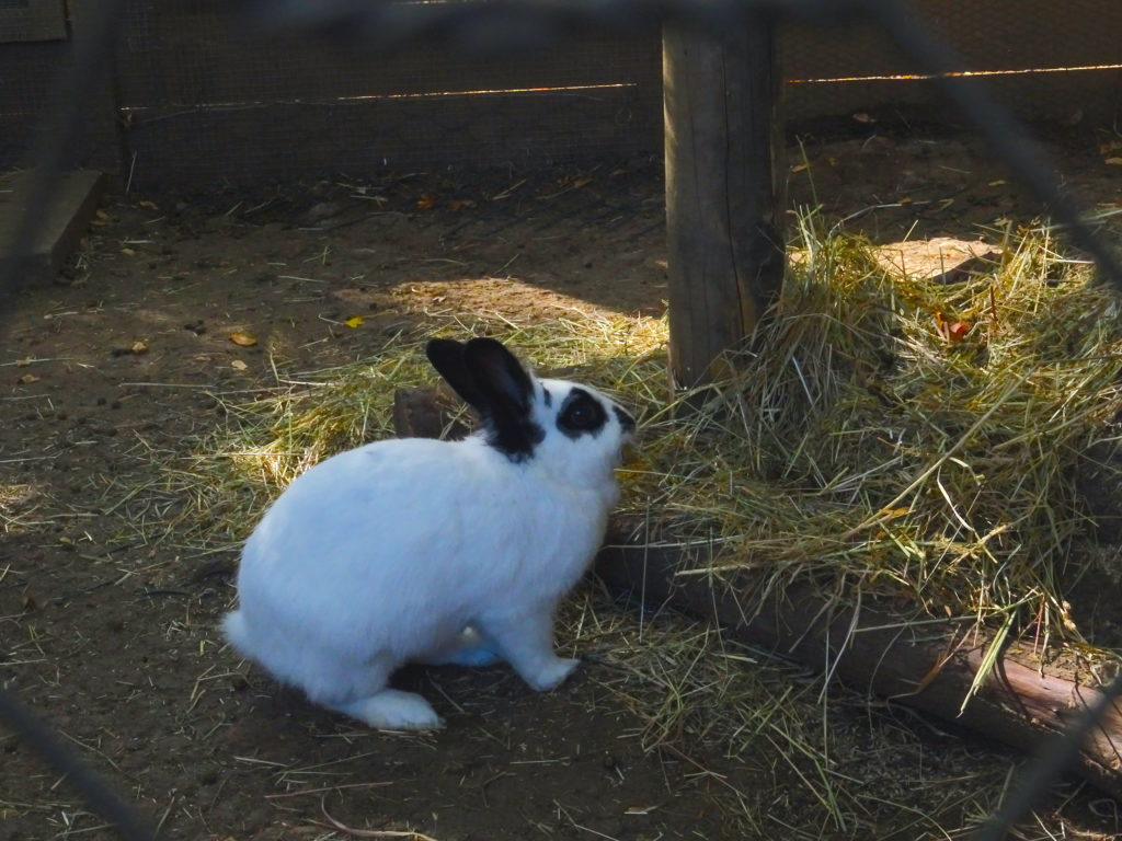 Rabbit At Mary Arden's Farm