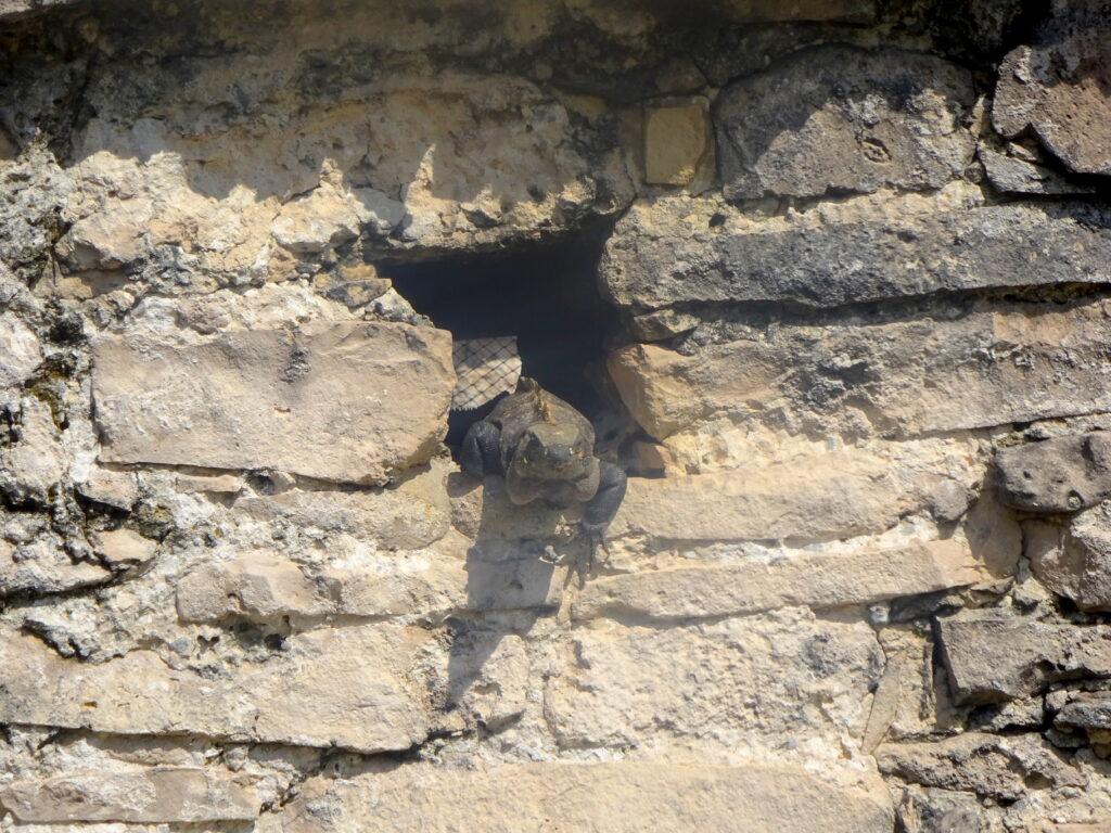 Iguana In Hole Of Ruins