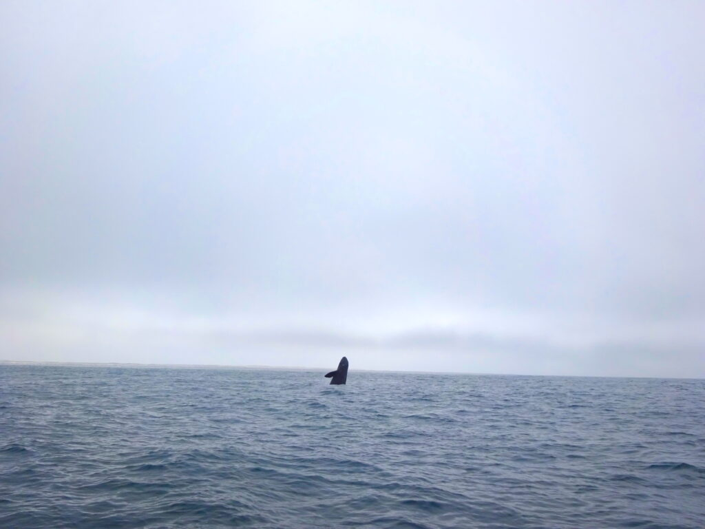 Whale Jumping In Distance